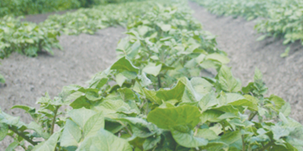 EcoTea HDI for Potatoes and Root Vegetables